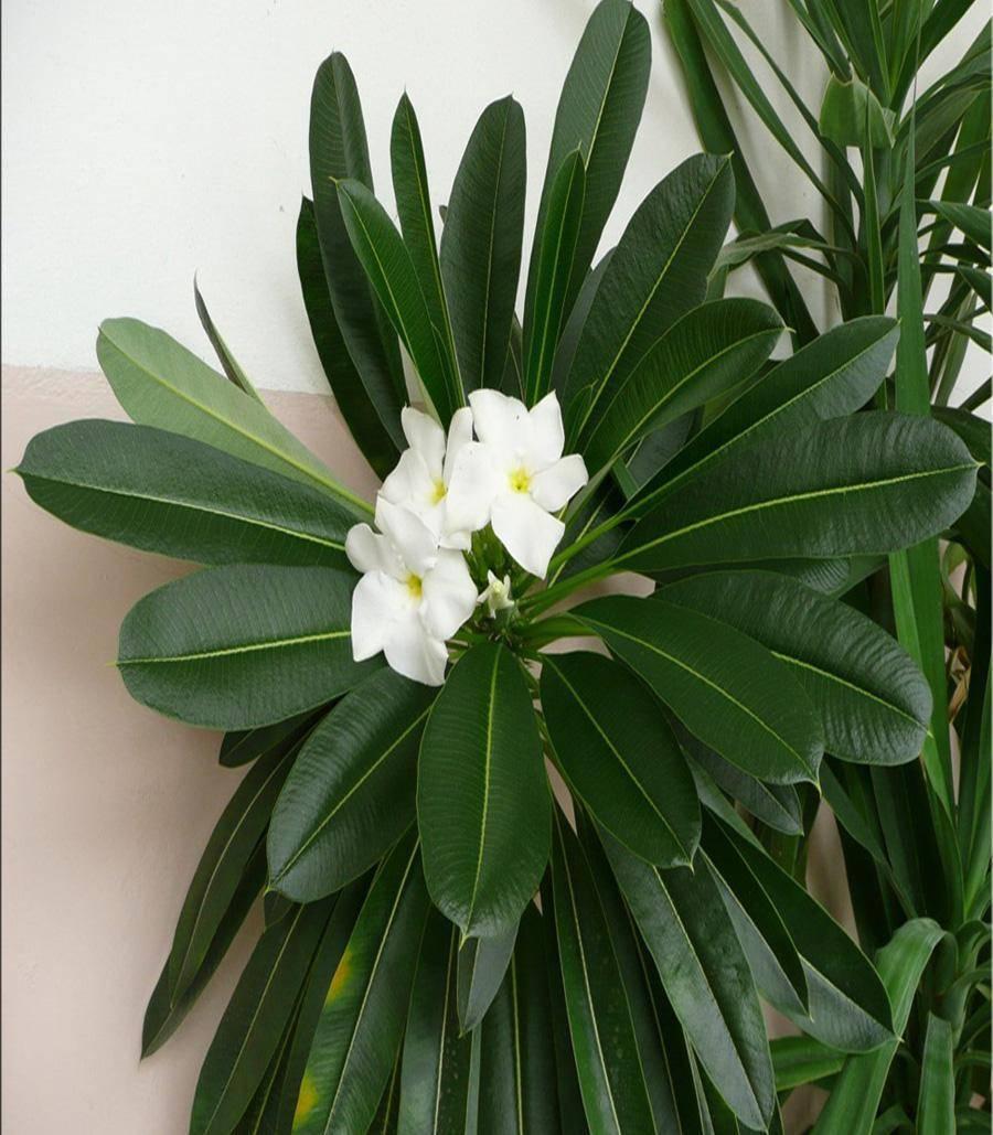 Пахиподиум (42 фото): уход в домашних условиях, особенности цветения ламера и сондерса, размножение из семян