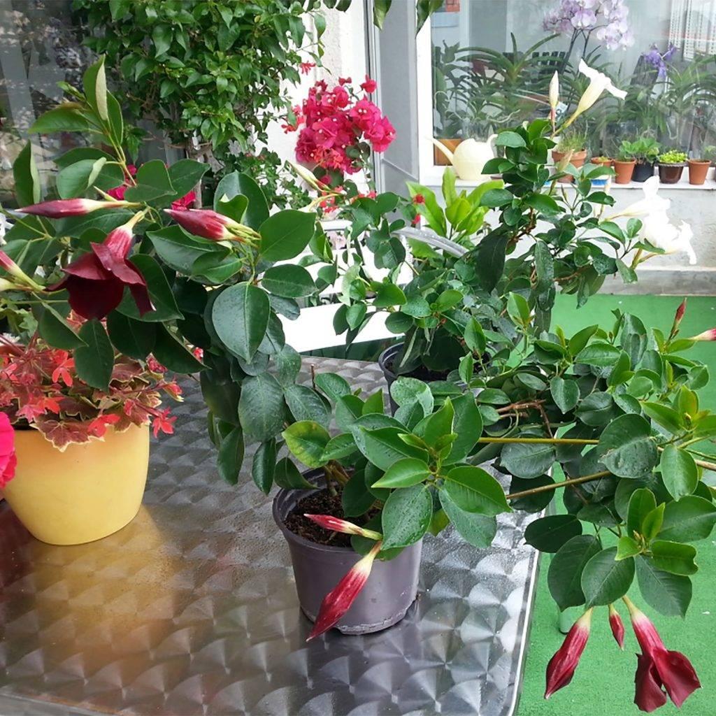 Дипладения или мандевилла: уход в домашних условиях за цветком