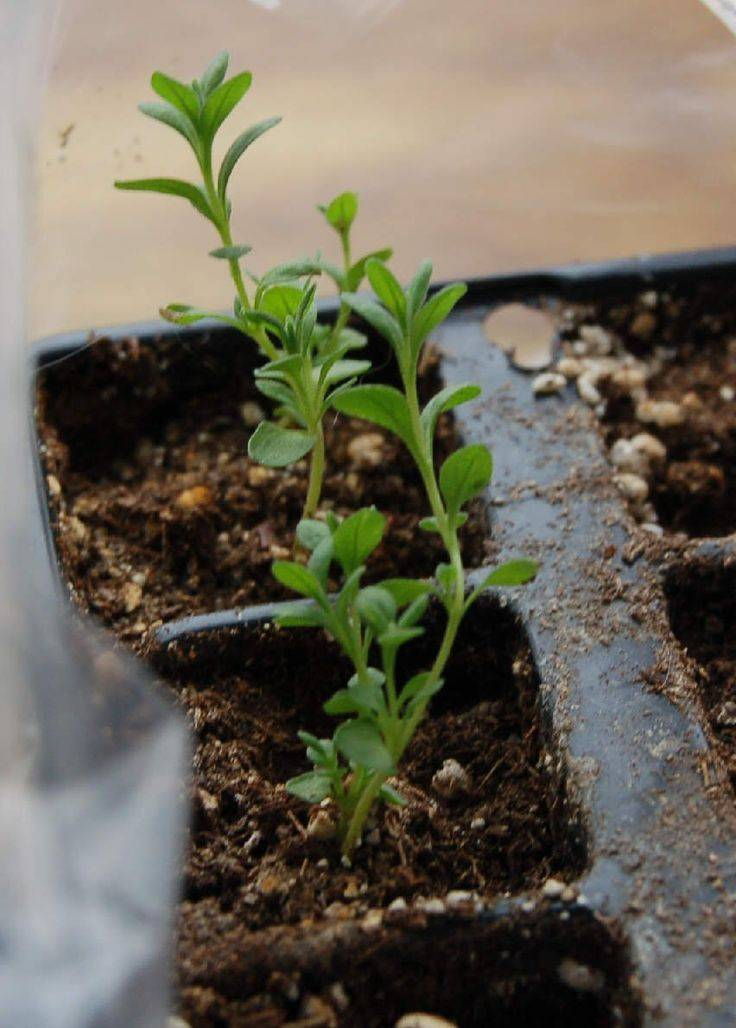 Как выращивать в домашних условиях лаванду из семян, и уход