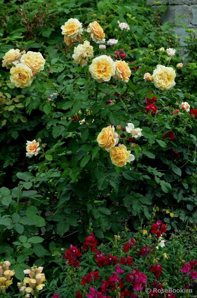 Шрабы (розы): описание, фото, посадка, уход