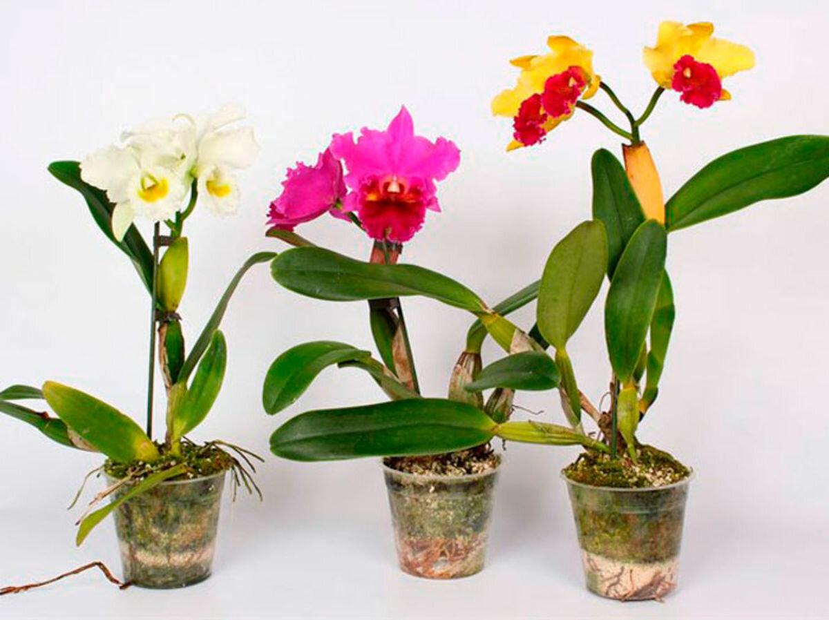 Орхидея каттлея: фото и уход в домашних условиях за каттлеями различных видов