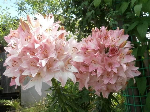 Изысканная и неприхотливая лилия саранка (кудрявая, кудреватая): фото и особенности ухода за растением