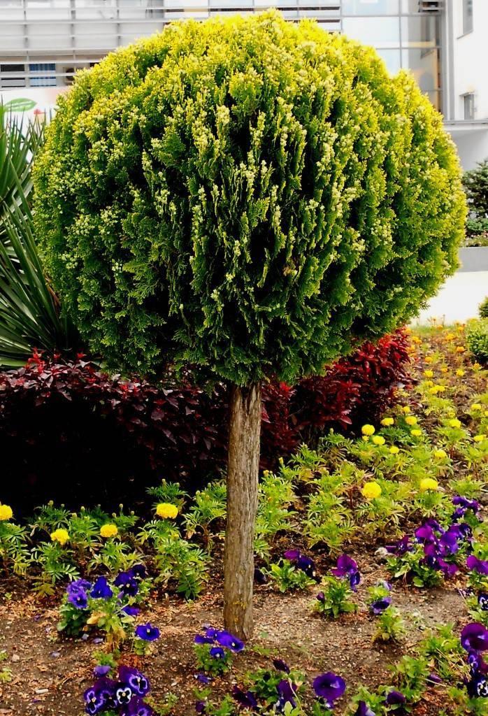 Шаровидная туя (35 фото): виды и сорта круглой туи, посадка в саду и уход, применение в ландшафтном дизайне. как подстричь шарообразную тую западную?