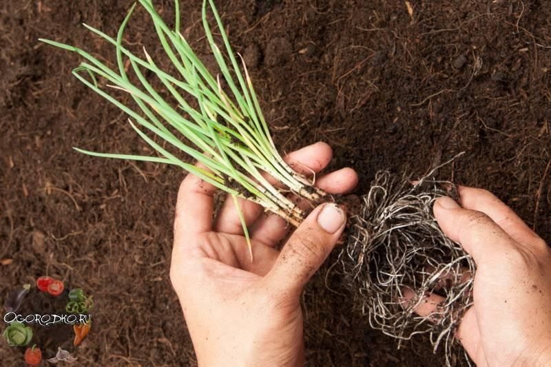 Лук севок — посадка весной, выращивание и уход в открытом грунте