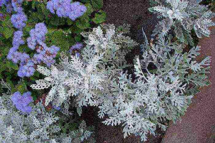 Цинерария — посадка и уход, виды растения, однолетник или многолетник? ?