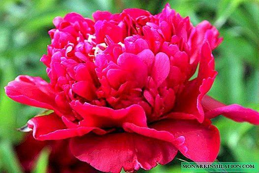Пион молочноцветковый (Paeonia Lactiflora) – особенности выращивания