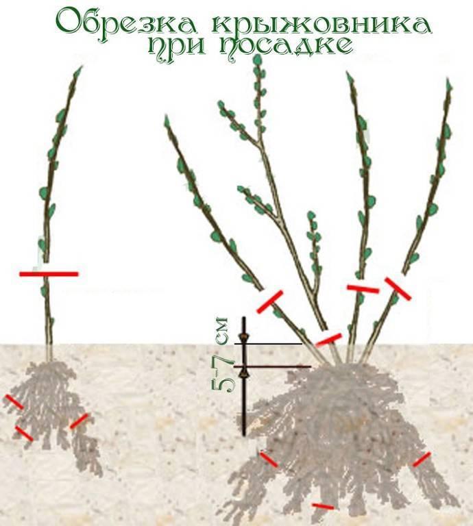 Барбарис тунберга атропурпуреа нана — описание сорта