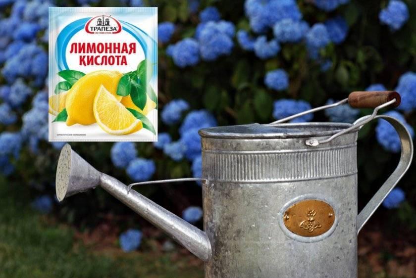 Чем полить гортензию, чтобы закислить почву: лимонная и янтарная кислота, уксус
