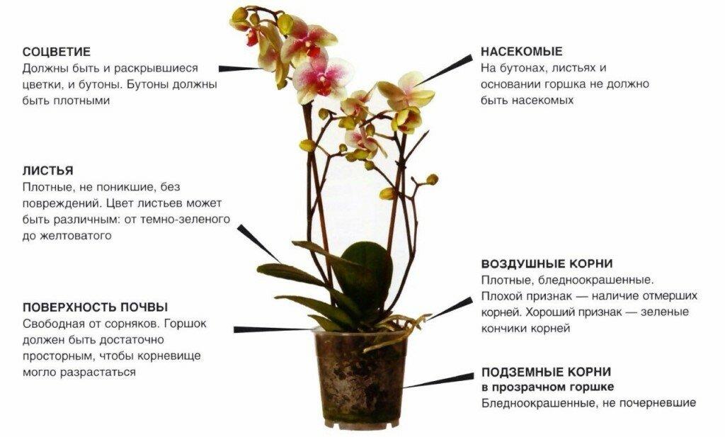Орхидея фаленопсис – уход в домашних условиях