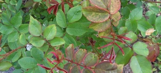 Почему у садовых роз сохнут по краям и на кончиках и опадают листья: что делать