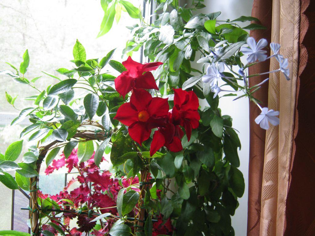 Дипладения уход в домашних условиях, фото, виды | комнатные цветы фатера