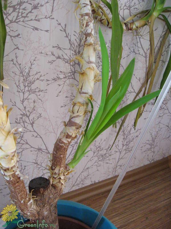 Юкка нитчатая (26 фото): посадка и уход в открытом грунте, особенности выращивания в домашних условиях. как сделать посев семенами? что делать, если юкка не цветет?