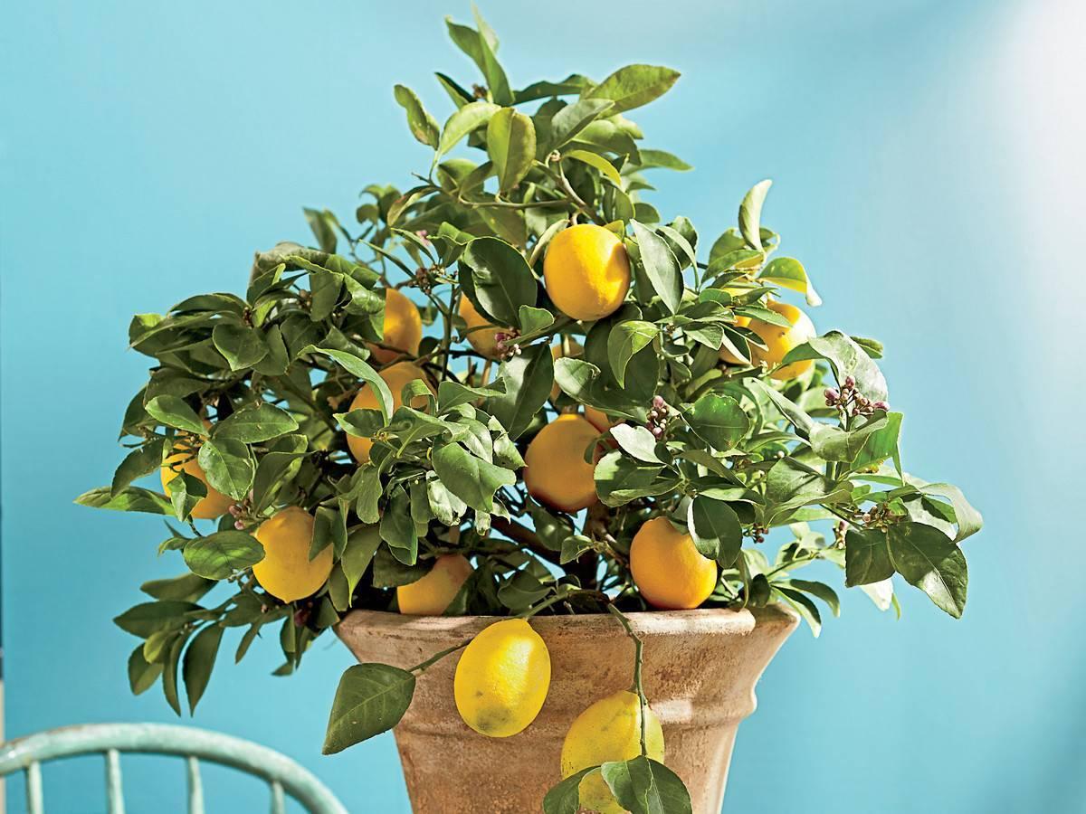Все о лимоннике китайском: посадка, уход и применение