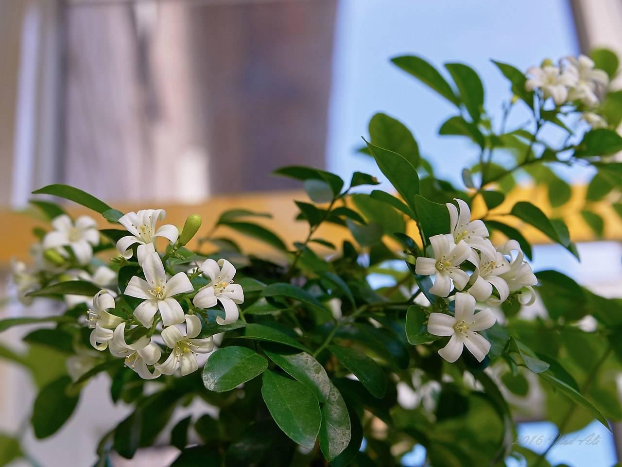 Мурайя — комнатное растение: полезные свойства и вред. применение мурайи