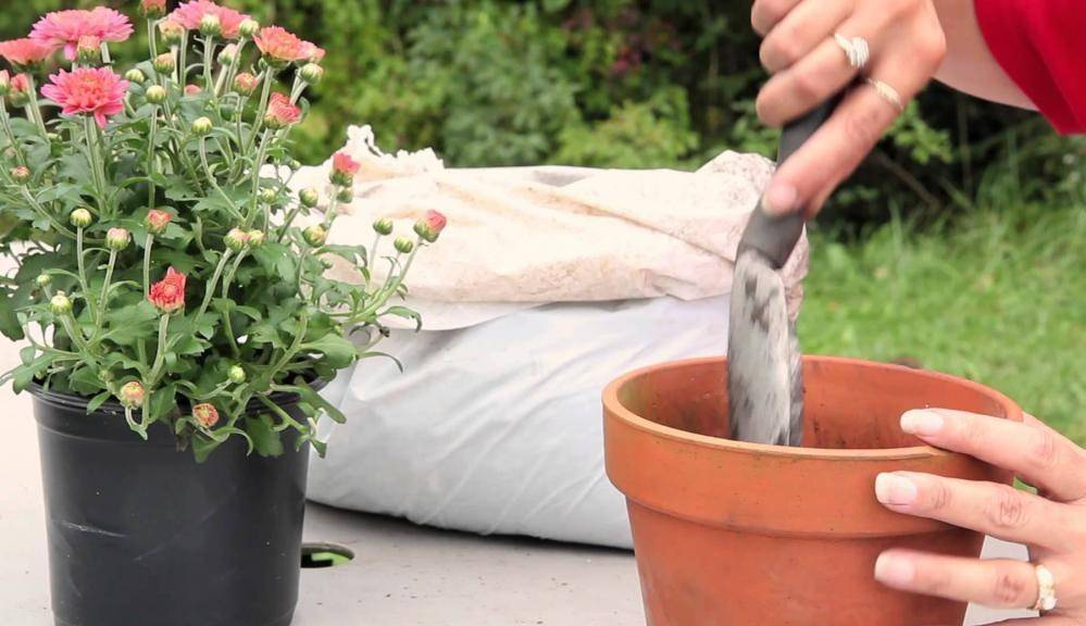 Выращивание львиного зева (антирринума) из семян
