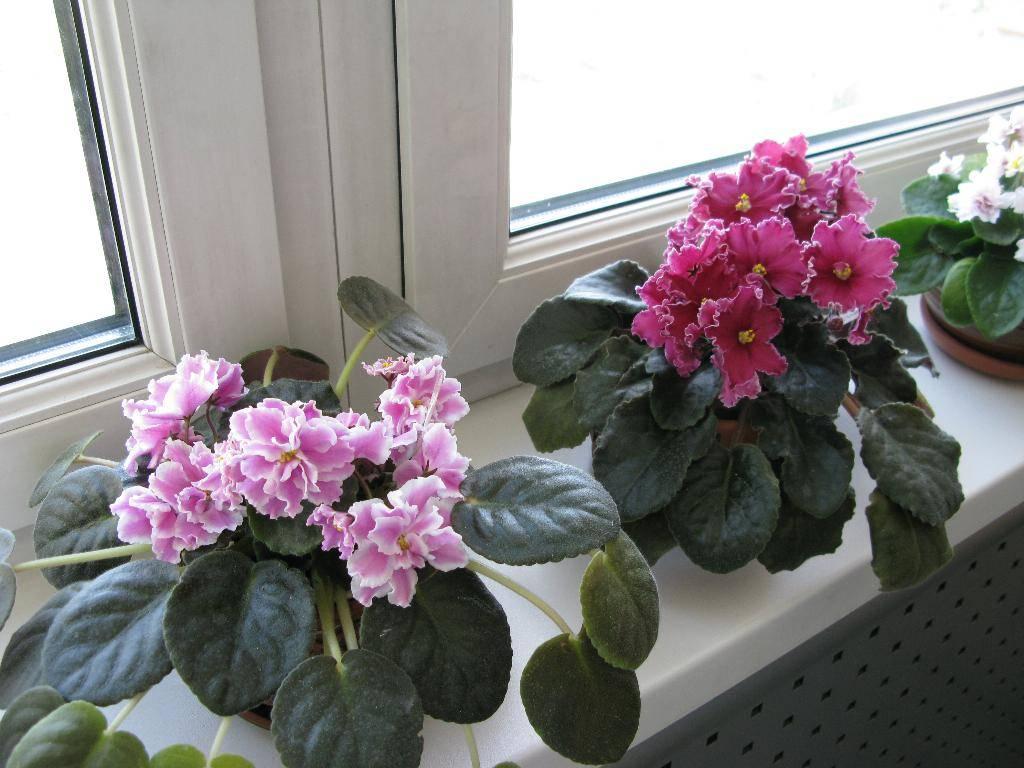Почему не цветут фиалки: что делать, чтобы фиалка цвела - roza-i-fialka.ru