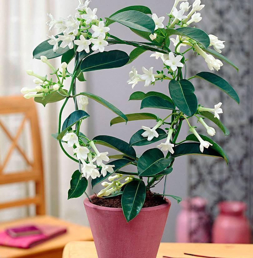 Комнатный жасмин — уход в домашних условиях и виды цветка ?