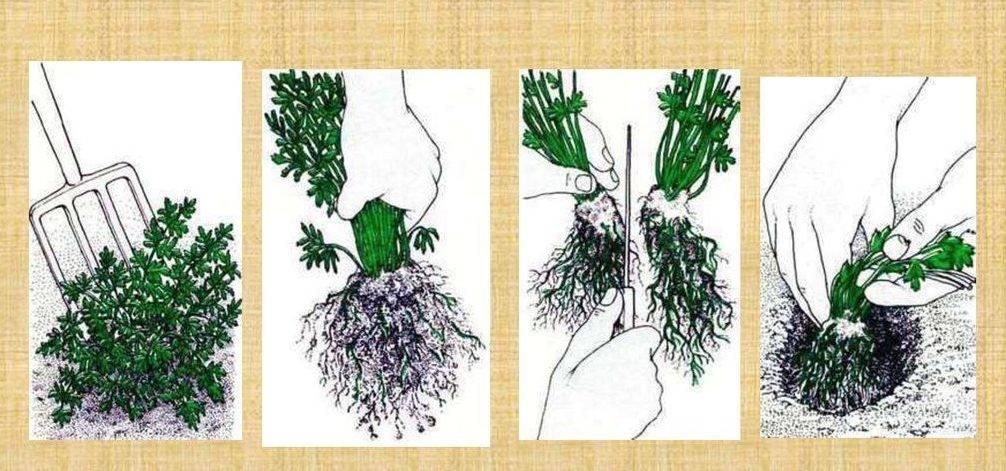 Аспарагус перистый: описание и уход в домашних условиях