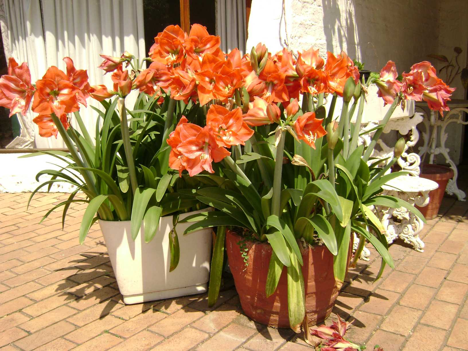 Уход за амариллисом: как вырастить комнатный цветок из семян в домашних условиях