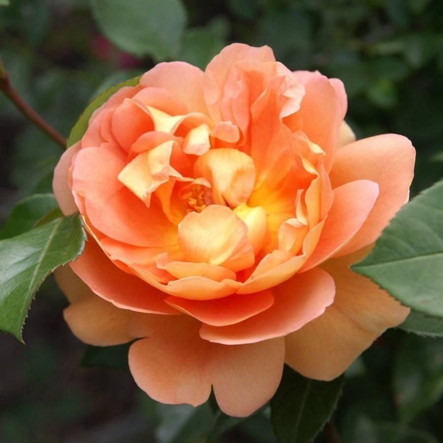Особенности выращивания английских роз в вашем саду, как посадить и ухаживать за розами остина