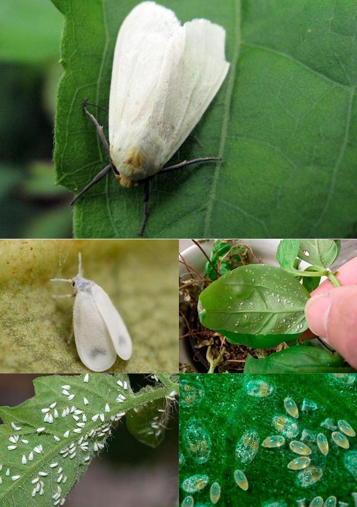 Белокрылка - средства борьбы, как избавиться в теплицах и на комнатных растениях
