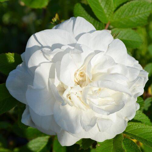 Роза генри келси (henry kelsey) — посадка и уход за культурой