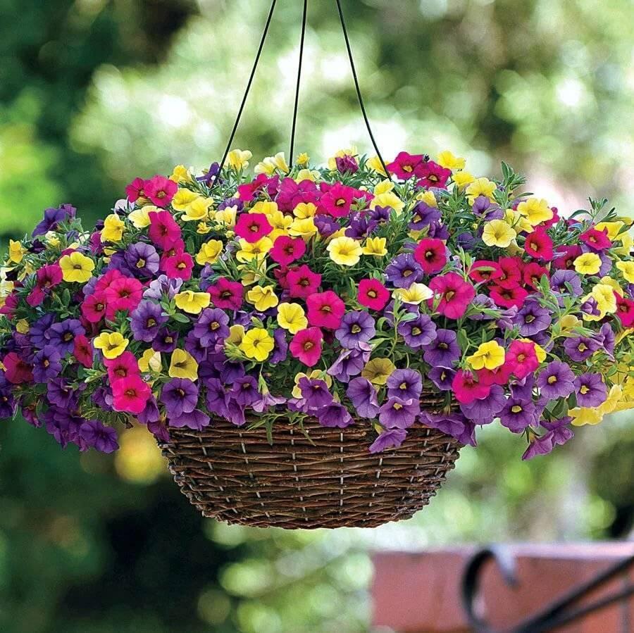 Цветок калибрахоа ампельная: описание и уход