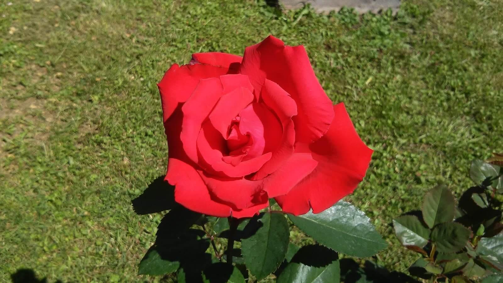 Роза чг супер гранд аморе, grande amore - описание сорта, отзывы, фото | о розе