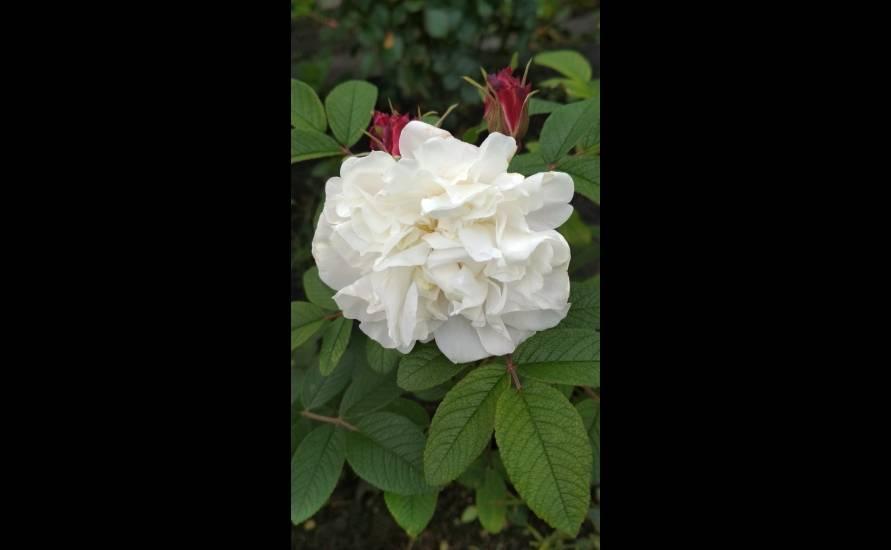 Роза робуста (robusta) — описание сортового куста