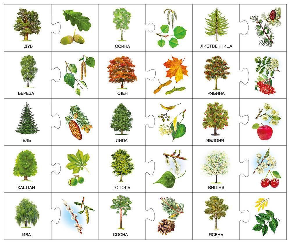 Изучаем самые распространенные хвойные деревья россии