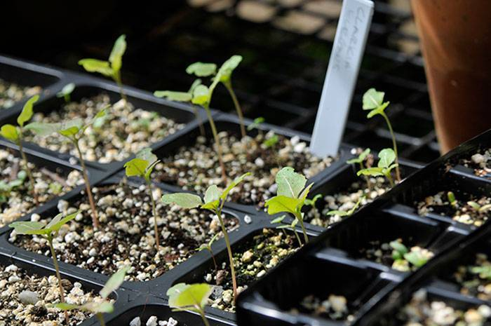 Кларкия (76 фото): посадка и уход за цветами, выращивание из семян на клумбе. как выглядят семена и как их собрать?