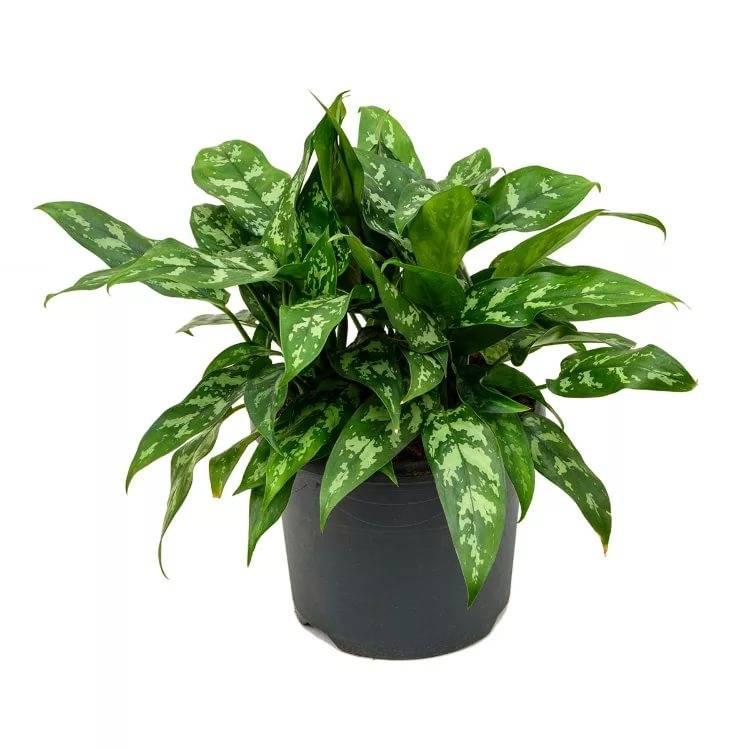 Декоративно-лиственные комнатные растения, фото