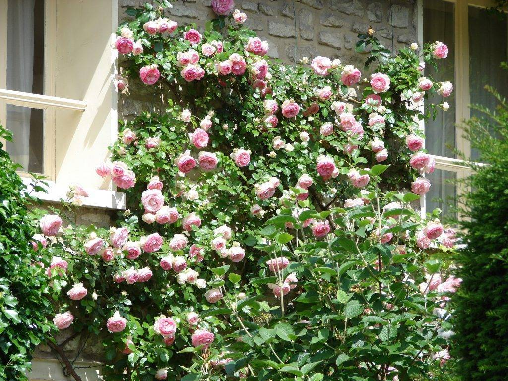 Роза хендель: описание, сорта, посадка, уход