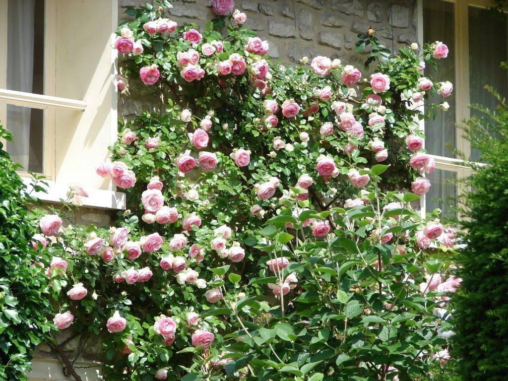 Роза титаник (titanic) — характеристики голландского сорта