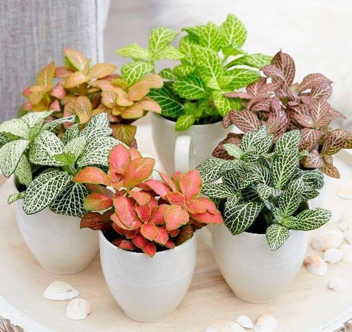 """""""фиттония"""": уход в домашних условиях за комнатным цветком, виды и способы размножения растения"""