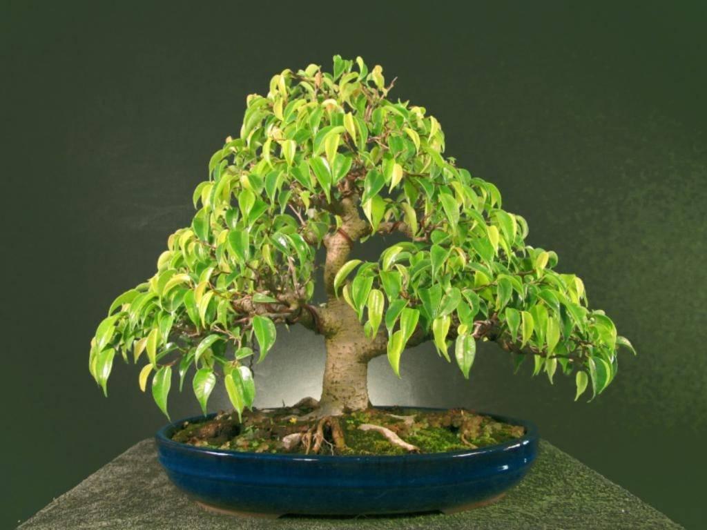 Бонсай своими руками— выращиваем растения в домашних условиях