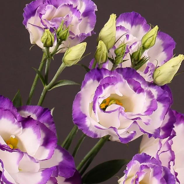Эустома — нежная дочь прерий в вашем саду или на окне
