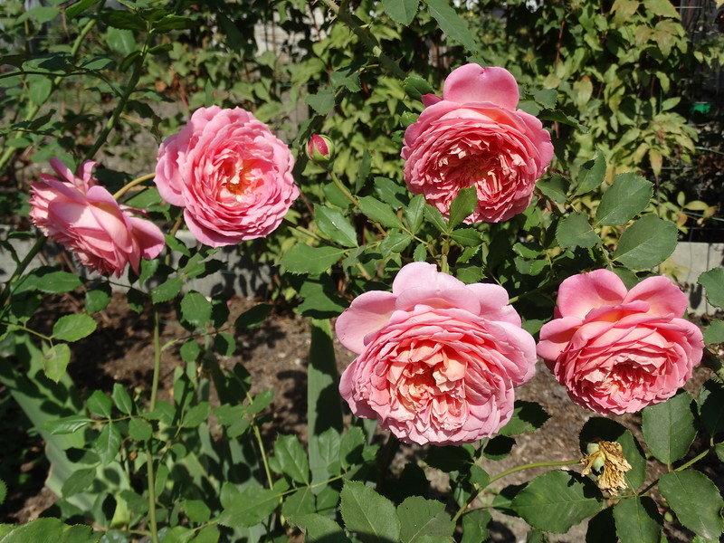 Описание сорта розы минерва: как ухаживать за бельгийским кустарником, цветение