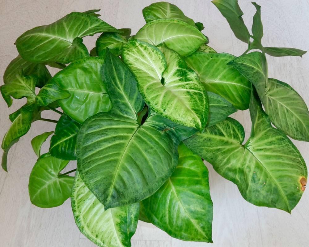 Виды и сорта комнатного растения сингониума