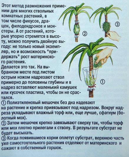 Цветок юкка — размножение в домашних условиях