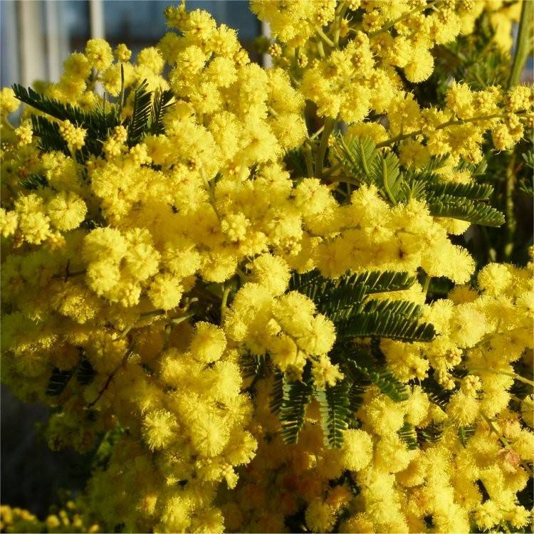 Mimosa tenuiflora — википедия