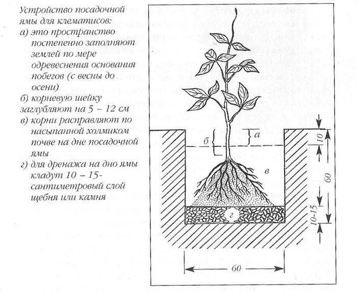 Клематис: посадка и уход в саду, фото, сорта и группы, обрезка и размножение