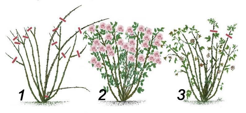 Спирея: посадка и уход в открытом грунте, обрезка и пересадка