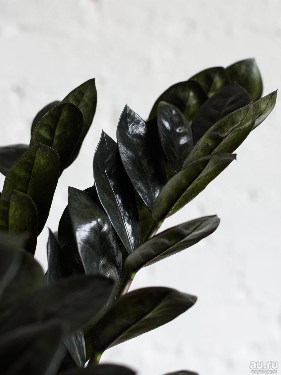 Почему замиокулькас называют «цветком безбрачия»?