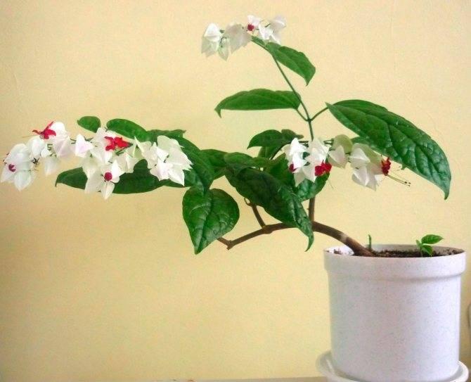 Клеродендрум — дерево судьбы в домашних условиях