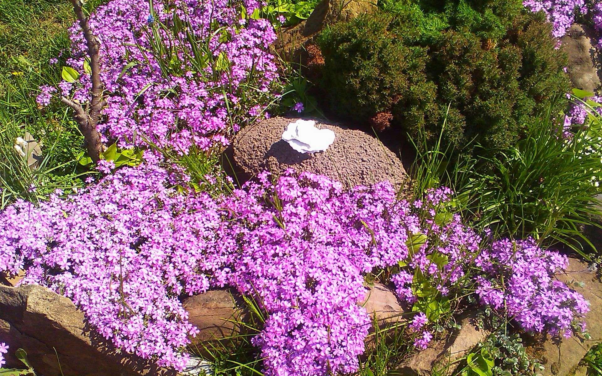 Мыльнянка базиликолистная(saponaria ocymoides)