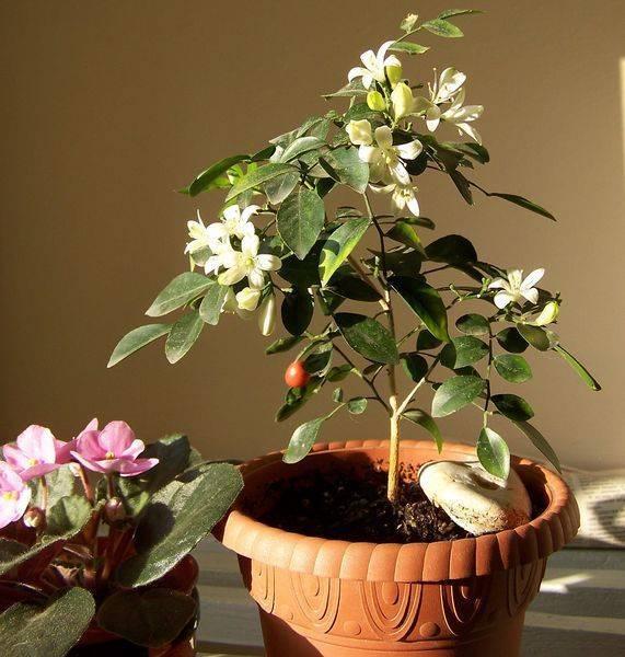 Тропическое дерево мурайя в домашних условиях (с фото)