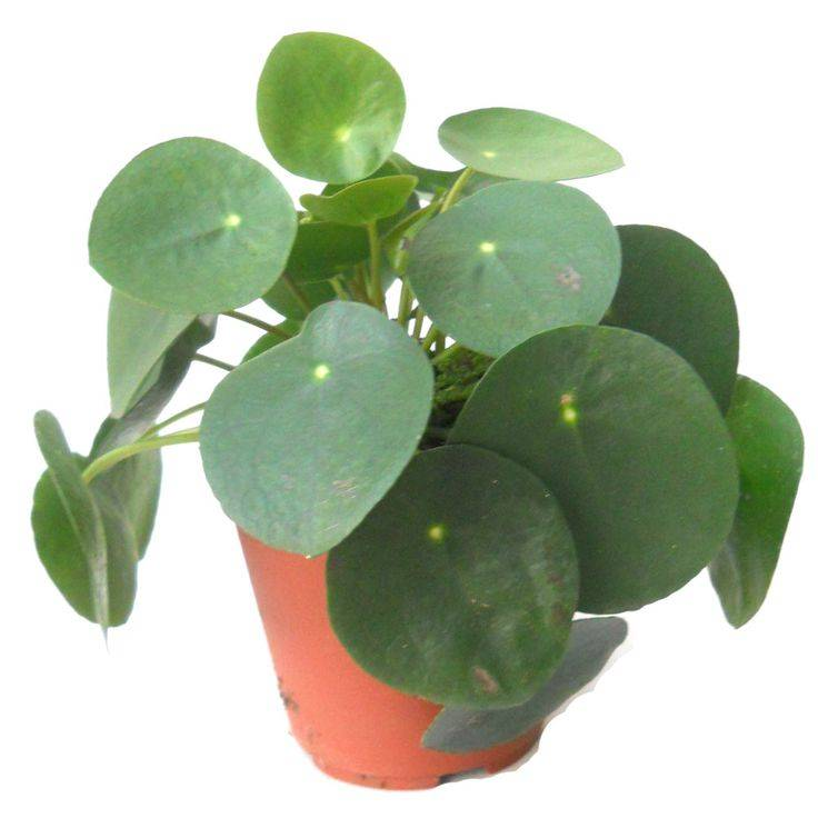 Комнатное растение пилея: фото, виды, уход в домашних условиях
