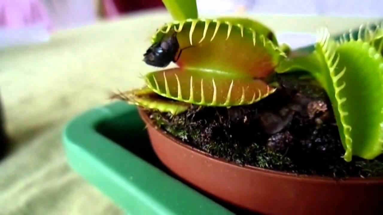 Плотоядное растение венерина мухоловка: уход в домашних условиях