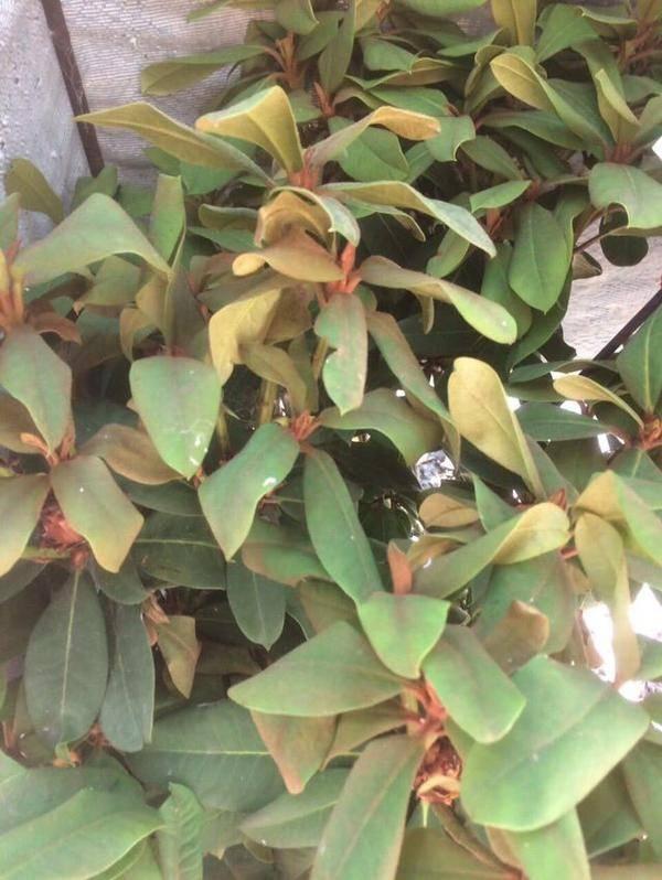 Азалия сбрасывает листья — почему это случается и как помочь растению?